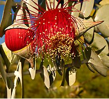 """Red Flowering Eucalyptus Macrocarpa"" Photographic Print"