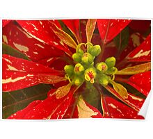 Poinsettia Holiday Greetings Poster