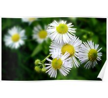 little daisy weeds Poster