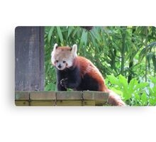 Red panda munchies Canvas Print