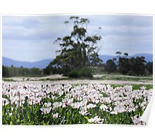 Opium Poppy Fields Poster