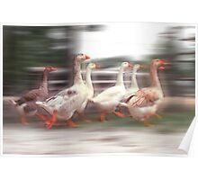 """Wild Goose Chase"" - geese running wild Poster"
