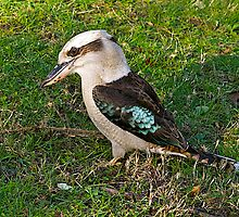 Kookaburra#7 by johnrf