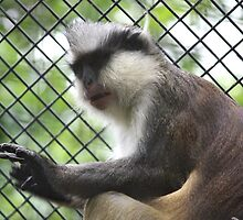 Funky Guenon by cute-wildlife