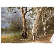 Murray River Gums Poster