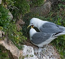 kittiwake courtship, Saltee Island, County Wexford, Ireland by Andrew Jones