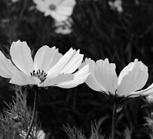 Black and white Cosmos flowers by Phil87