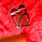 Glasswing on Anthurium by Jo Nijenhuis