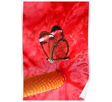 Glasswing on Anthurium Poster