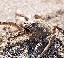 Spider Crab by Jeff Ore