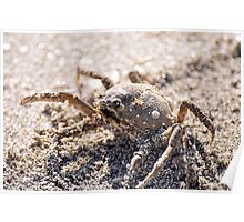 Spider Crab Poster