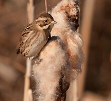 reed bunting : a reed on the seed by Grandalf