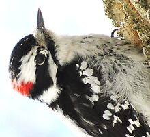 Mister Downy  Woodpecker by lorilee