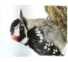 Mister Downy  Woodpecker Poster