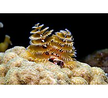 Atlantic Christmas Tree Worm Photographic Print