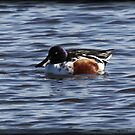 Northern Shoveler by Dennis Cheeseman
