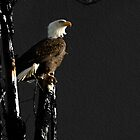 The Great Bald Eagle 1  by Thomas Young