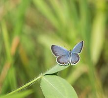 Eastern Tailed Blue by EugeJ