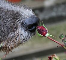 A Nose and a Rose by Wolfhound