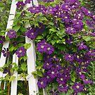 Clematis 'Etoile Violette' by Ellen McKnight