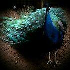 Peacock by Kimberly638
