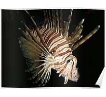 Volitans lionfish in the darkenss Poster