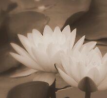 Sepia by Carol Field