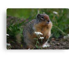 Columbian Ground Squirrel - Glacier NP, Montana Canvas Print