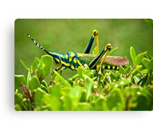 AK Grasshopper - Southern India Canvas Print