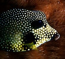 Smooth Trunkfish by Sbailey