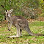Little Kangaroo at Troopers Creek by Michael Barnett