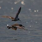 Oyster Catchers in flight by DHParsons