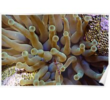 Spotted cleaner shrimp with a sea anemone. Poster