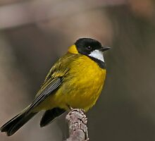 Golden Whistler by Lance Leopold