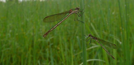 Dragonflies by Josie Jackson
