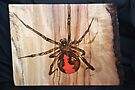 Red Back Spider by aussiebushstick