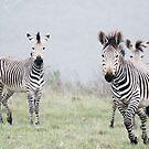 Zebra, Botlierskop Game Reserve, Western Cape, South Africa by Roger Barnes