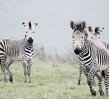 Zebra, Botlierskop Game Reserve, Western Cape, South Africa by Roger Barnes
