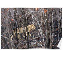 Lioness, Kruger National Park, South Africa Poster
