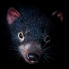 Tasmanian Devil, Port Arthur, Tasmania by Matthew Stewart