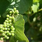 Baby Wine Grapes by shazart