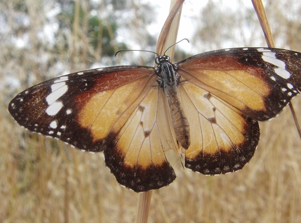 Lesser Wanderer Butterfly (Danaus petilia) - Horsnell Gully, South Australia by Dan & Emma Monceaux
