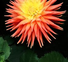 Pink and Yellow Spikey Dahlia by beatrice11