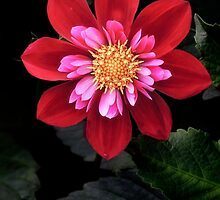 The Heart of the Dahlia by beatrice11