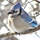 Icy Blue Morning (Blue Jay) by lorilee