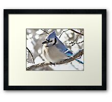 Icy Blue Morning (Blue Jay) Framed Print