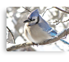 Icy Blue Morning (Blue Jay) Metal Print