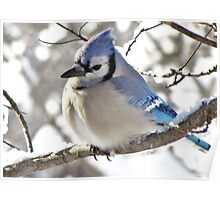 Icy Blue Morning (Blue Jay) Poster
