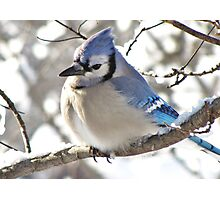 Icy Blue Morning (Blue Jay) Photographic Print
