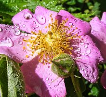 A Wild Rose after a shower by barnsis